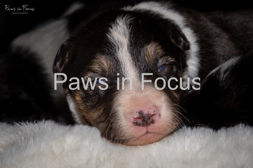 Beckys-pups-2-weeks-4