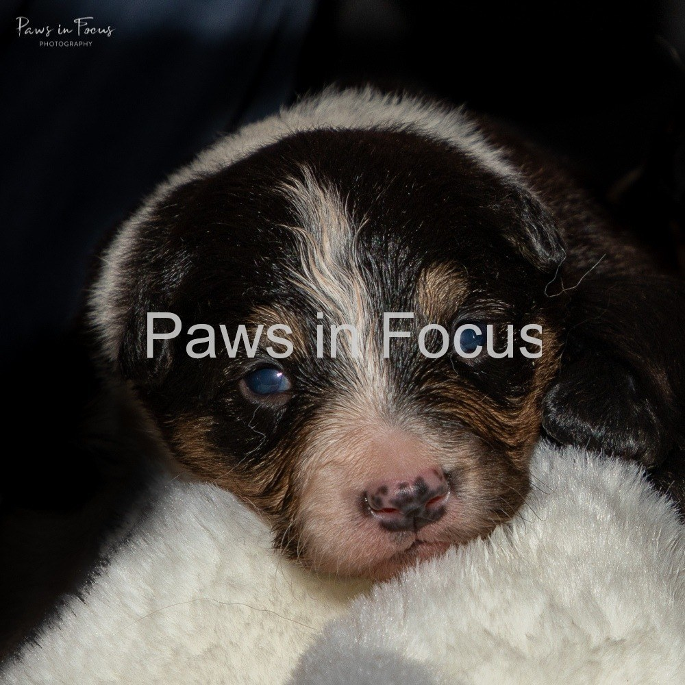 Beckys-pups-2-weeks-8